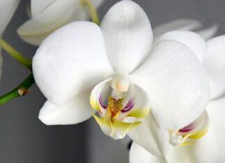 Czar sztucznych kwiatów